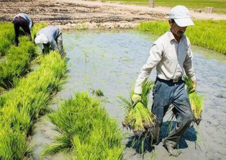 کشت محصولات پرمصرف آب همچون شلتوک در تابستان ممنوع شد